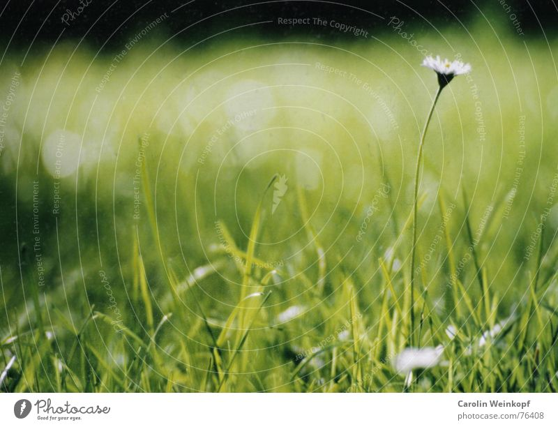 Green Summer Leaf Meadow Blossom Grass Garden Park Warmth Tall Physics Stalk Blade of grass Daisy Juicy August