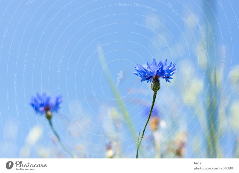 cornflower blue Herbs and spices Environment Nature Landscape Sky Cloudless sky Summer Plant Grass Cornflower Meadow Field Blossoming Stand Growth Blue