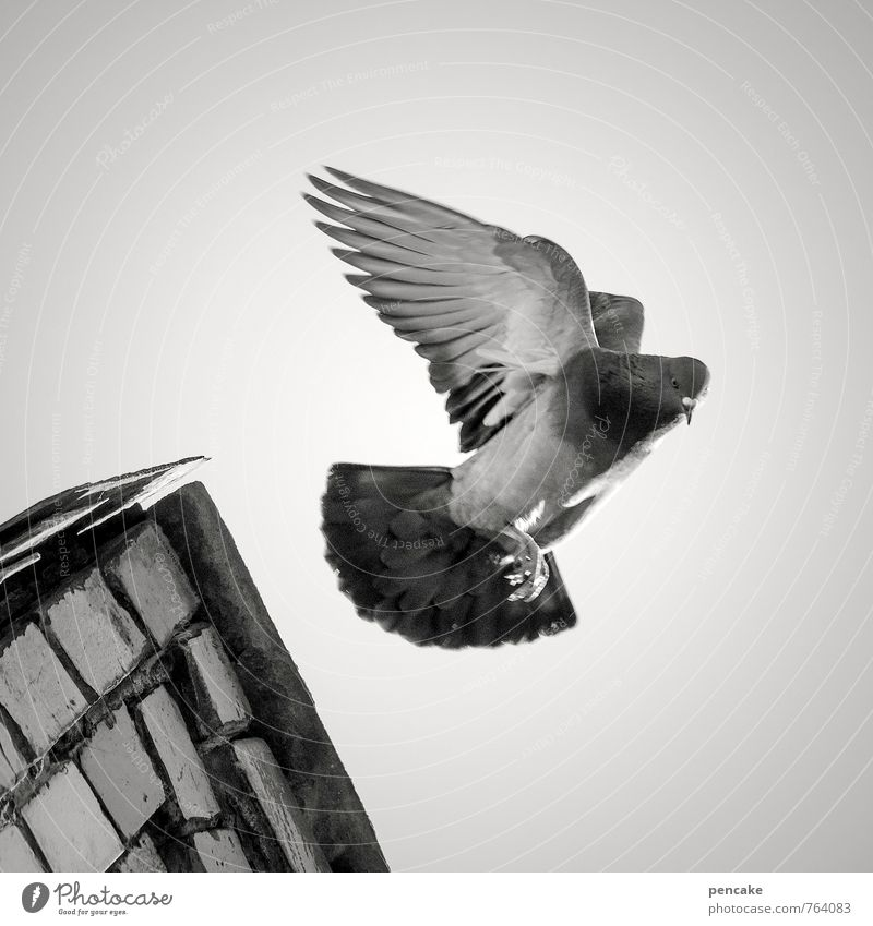 angelo Nature Elements Sky Animal Bird 1 Sign Flying Pigeon Wing Angel Roof ridge Old town Black & white photo Exterior shot Close-up Worm's-eye view