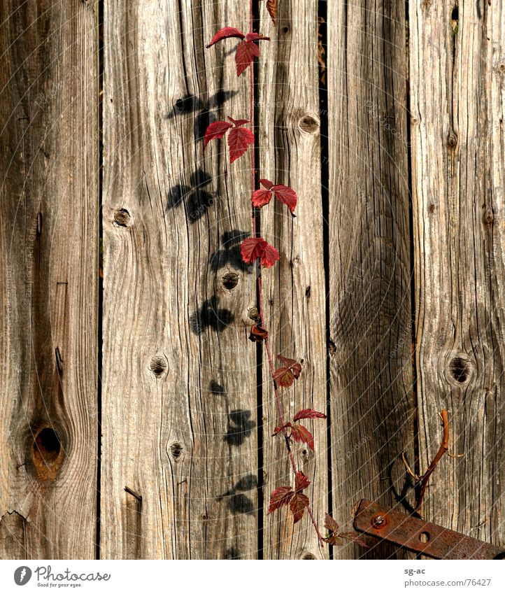 wine shade Virginia Creeper Tendril Cirrus Wood Wood flour Wooden board Knothole Red Autumn Indian Summer Leaf Nail Metal fitting Iron Rust Screw Vine twine
