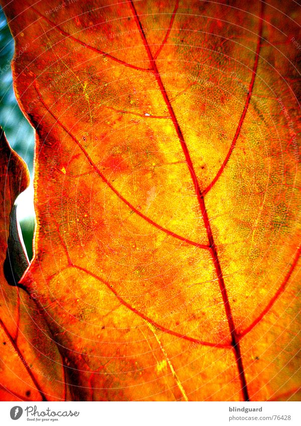 Sun Red Leaf Yellow Autumn Death Warmth Background picture Wind Physics Dry Hollow Fine Vessel Branchage Dried