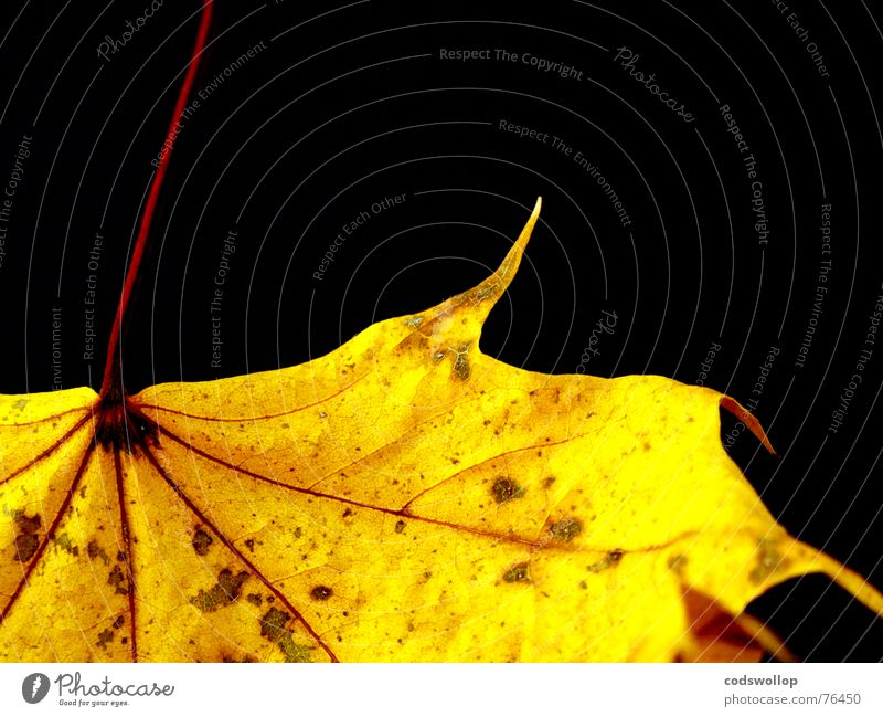 gold leaf Leaf Red Yellow Black Autumn Gold structure Structures and shapes