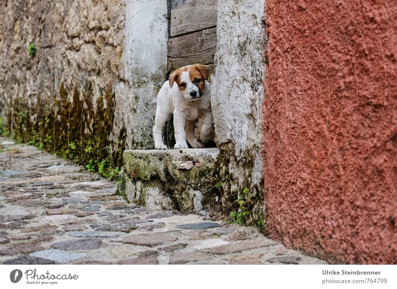 Dog Loneliness House (Residential Structure) Animal Baby animal Wall (building) Street Wall (barrier) Small Going Stairs Door Stand Observe Cute Search