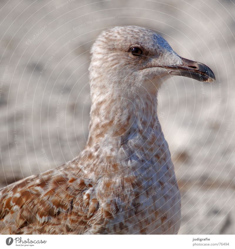 Young seagull Algae Lake Seagull Silvery gull Bird Feather Pattern Brown Beach Ocean Coast Beak Watchfulness Sand Baltic Sea Looking Eyes Baby animal