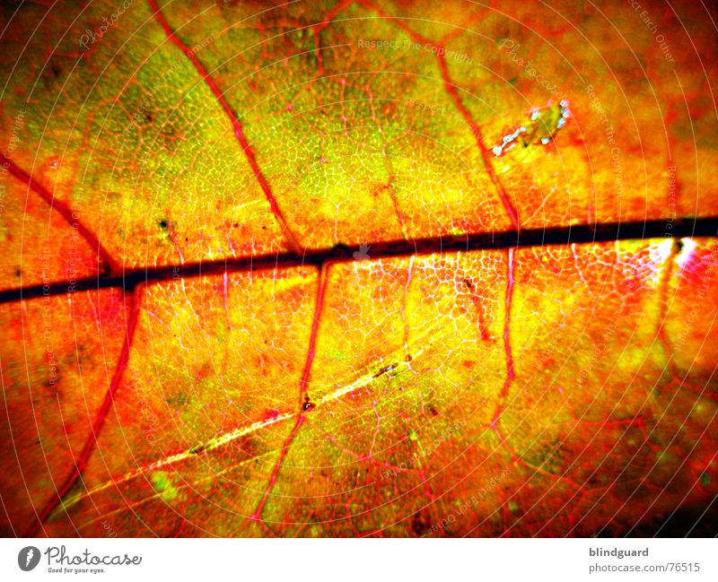 Autumn fashion .:!V:. Leaf Vessel Red Death Bump Physics Fine Dry Limp Branchage Maple tree Yellow Background picture Macro (Extreme close-up) Close-up Hollow