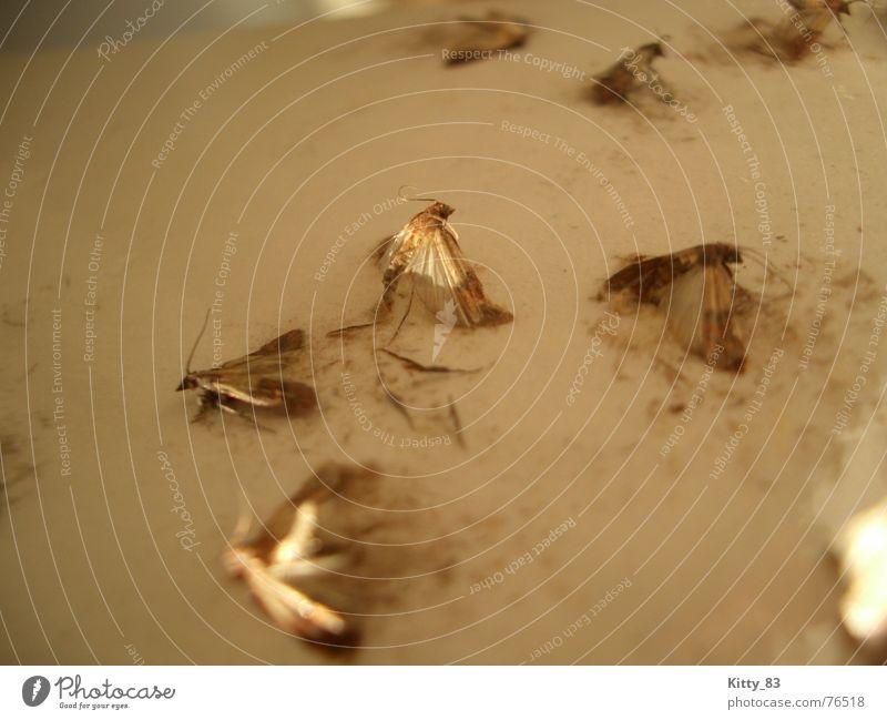 Death Brown Wing Fight Beige Feeler Plagues Butterfly Sticky Heterocera