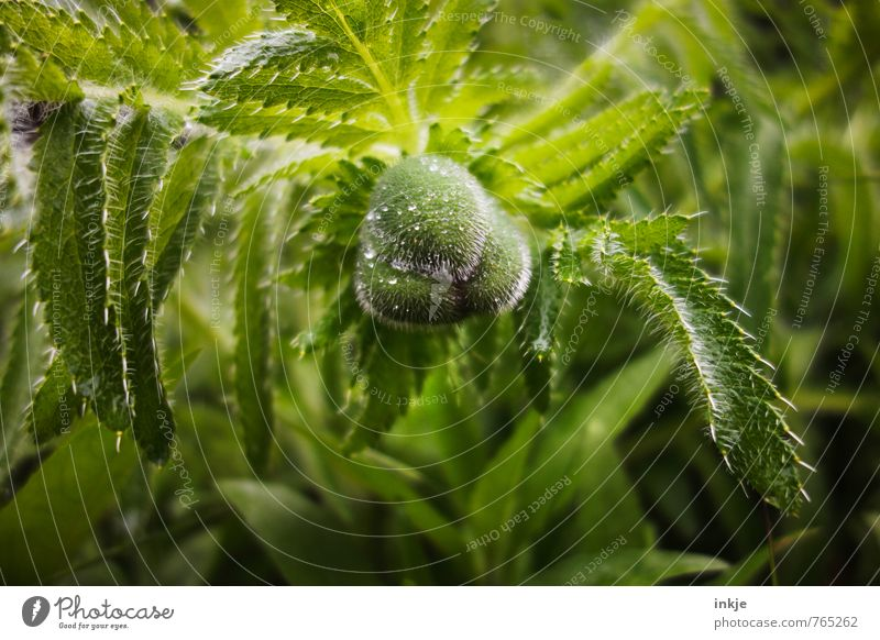 poppy Nature Water Drops of water Spring Summer Climate Beautiful weather Rain Flower Leaf Blossom Bud Poppy leaf Poppy blossom Garden Park Hang Growth Fresh