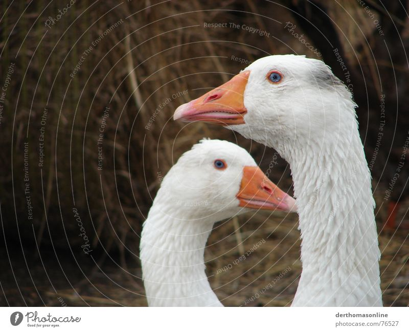 Goose beautiful blue-eyed 2 Roasted goose Gooseflesh Barn Straw Downy feather Clean Dirty Large Small Vantage point Ignore Attraction Lovesickness Bird Garden