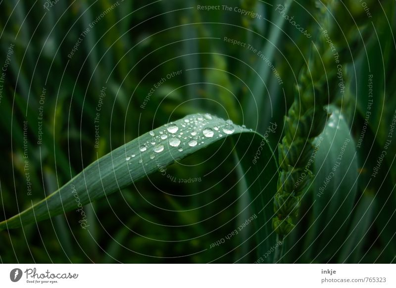 Pair Environment Plant Water Drops of water Spring Summer Grass Agricultural crop Cornfield Grain Wheat ear Wheat grain Wheatfield Field Fluid Fresh Wet Round