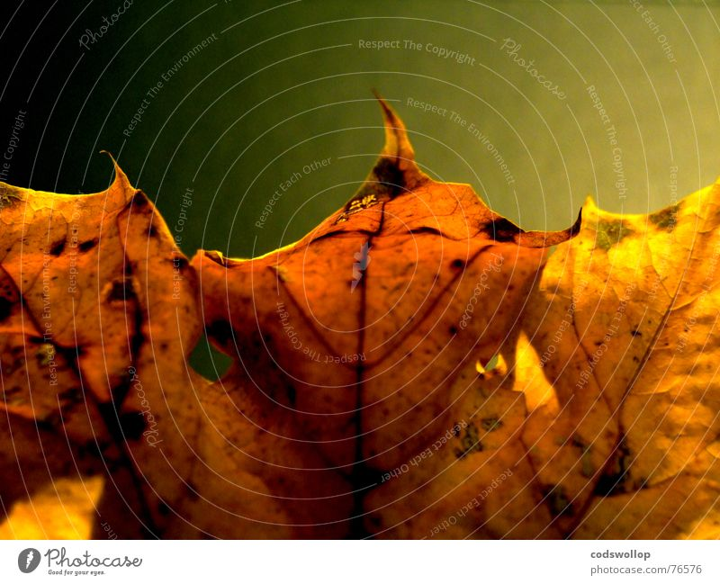 songs from the wood Leaf Red Yellow Bronze Black Autumn Gold structure Structures and shapes