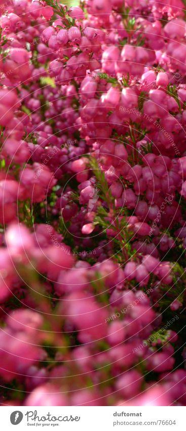 Flower Red Autumn Pink Grave Heathland Mountain heather Heather family Fuchsia