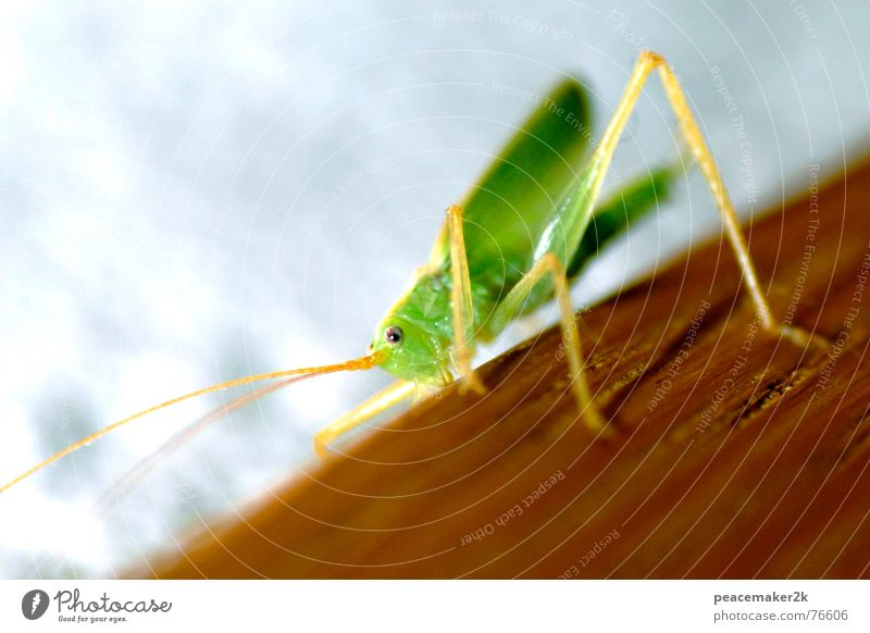 Grasshopper climbing Animal Insect Locust Feeler Green Small Hop Jump Climbing long legs