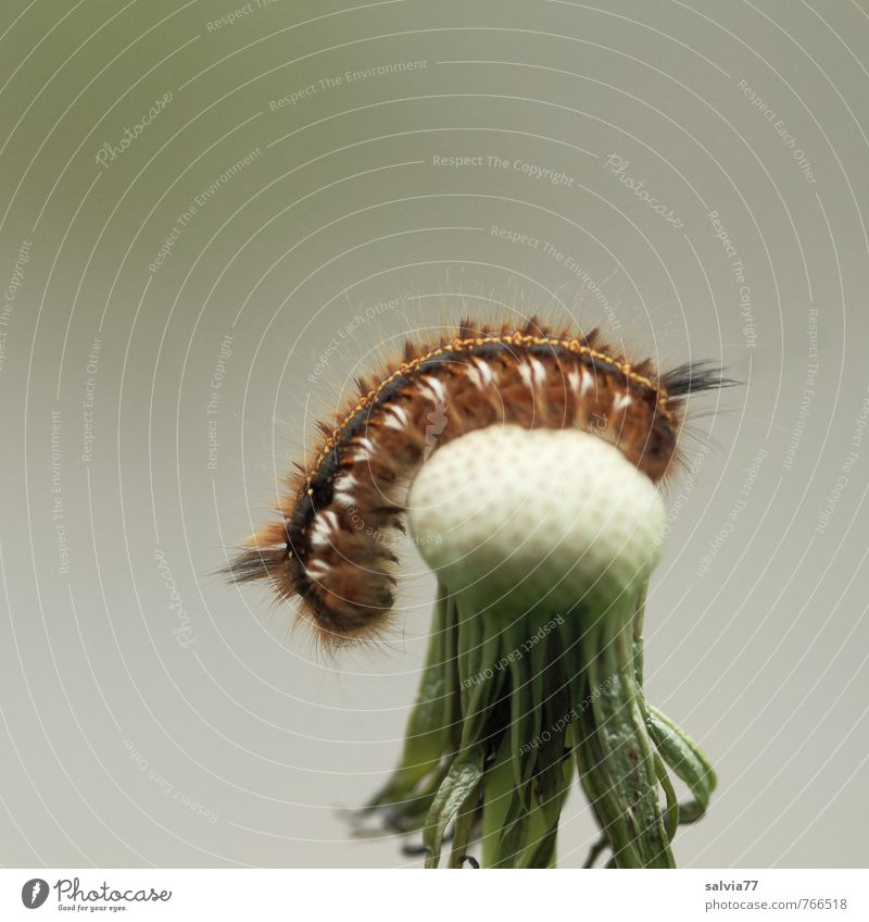 Caterpillar Yoga Relaxation Calm Environment Nature Plant Animal Spring Summer Wild plant Wild animal 1 Fitness Crawl Brown Gray White Dandelion Faded Insect