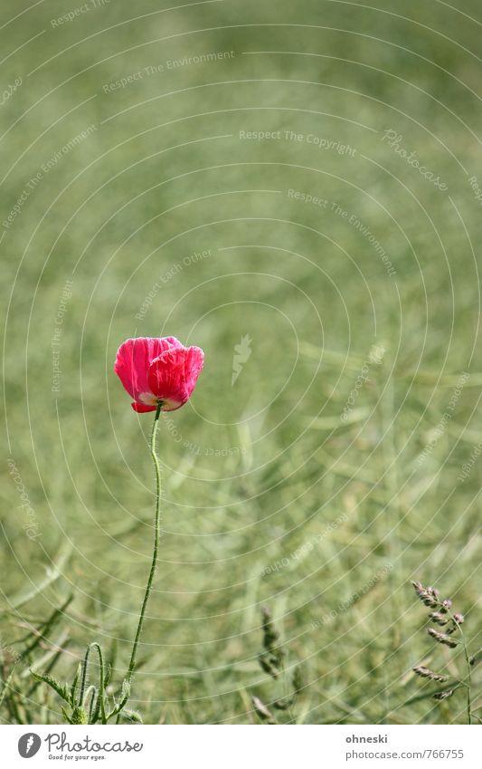 Summer Flower Life Blossom Natural Pink Field Growth Joie de vivre (Vitality) Poppy Spring fever Wild plant Poppy blossom