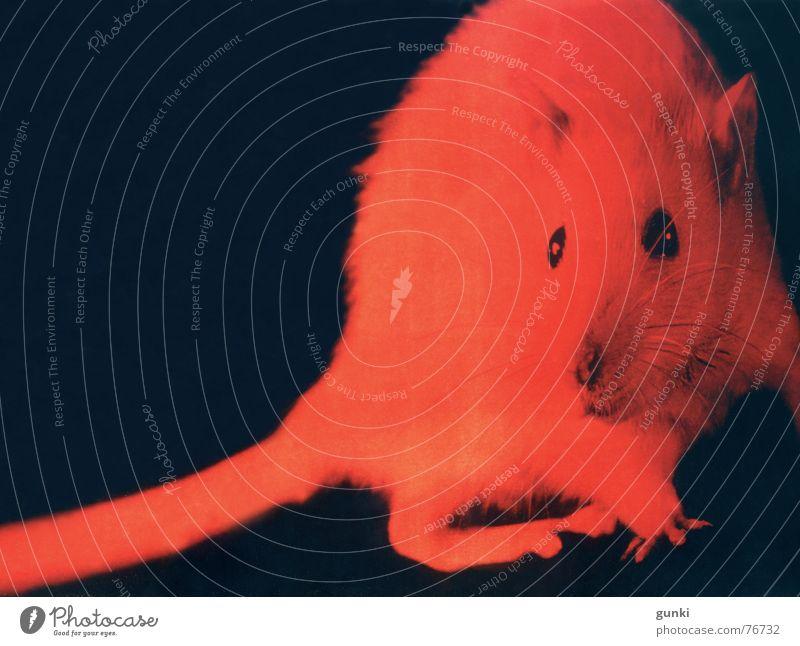 chance hit Red Rat Animal Dark Creepy Hallowe'en Reflection Mouse