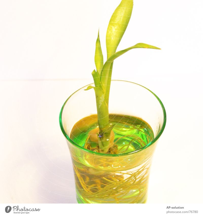 Lucky Bamboo Flourish Plant Green Foliage plant Growth Things Living or residing Lucky bamboo Decoration Root Water Glass