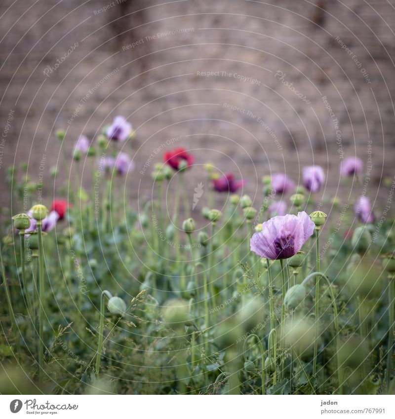 bluh muhn. Intoxicant Medication Plant Spring Flower Grass Blossom Wild plant Poppy blossom Wall (barrier) Wall (building) Exotic Trashy Blue Red Beautiful
