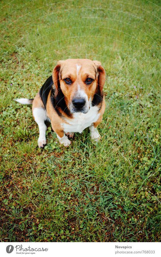 Dog White Animal Black Brown Cute Pet Muzzle Beagle