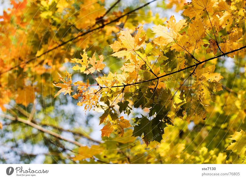 autumn leaves Leaf Autumn Tree Yellow Nature Mühlacker Exterior shot autumn yellow nature colourful Branch Germany Bright canon eos 5d