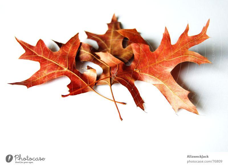 Topic: Autumn foliage / Left light Right not Autumn leaves Leaf Limp Oak leaf Red Oak tree Isolated Image Multicoloured