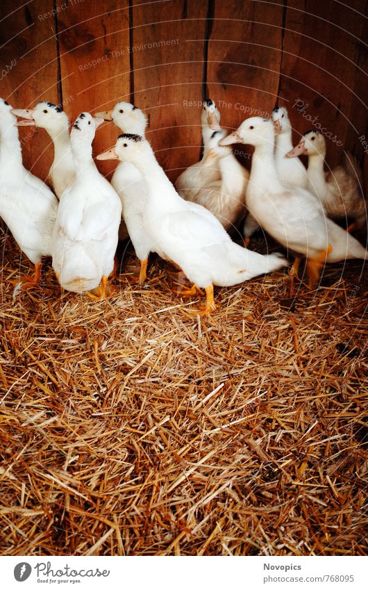 Nature White Animal Yellow Environment Brown Food Bird Group of animals Hut Organic produce Pet Duck Meat Beak Farm animal