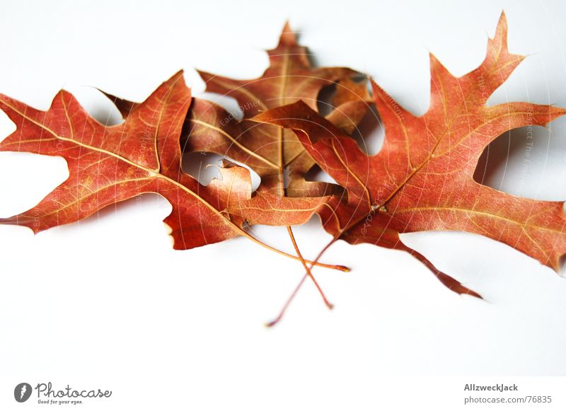 Red Leaf Autumn leaves Oak tree Isolated Image Limp Oak leaf