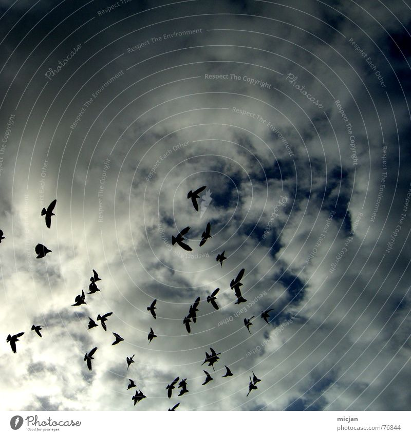 Sky White Clouds Animal Dark Environment Above Air Bird Flying Multiple Threat Storm Escape East Floating