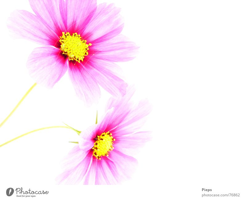 Nature White Flower Plant Summer Blossom 2 Pink Happiness Transience Blossoming Illuminate Aster Optimism Cosmos
