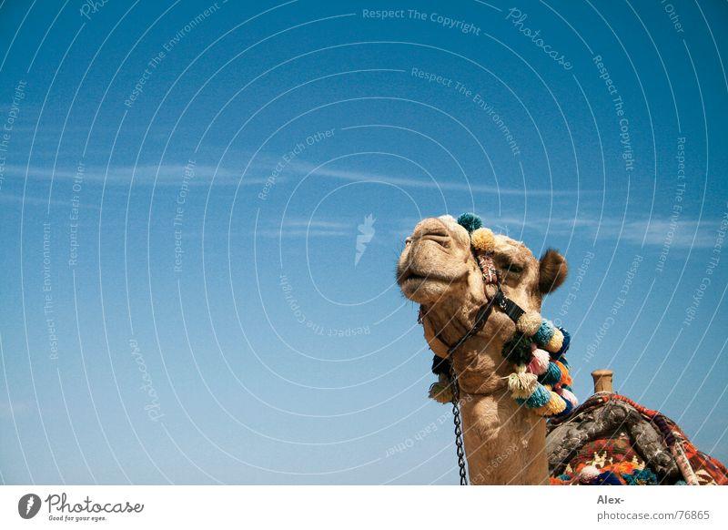 ninino Camel Dromedary Arabia Physics Hot Summer Means of transport Logistics Relaxation Clouds To go for a walk Knee Broken Arrogant Sahara Desert Sky Blue