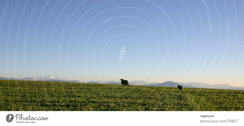 We're fine out here. Cow Animal Calf Canton Infinity Feed Safety (feeling of) Exterior shot Green alpine scene Landscape vaud Sky Pasture Far-off places Freedom