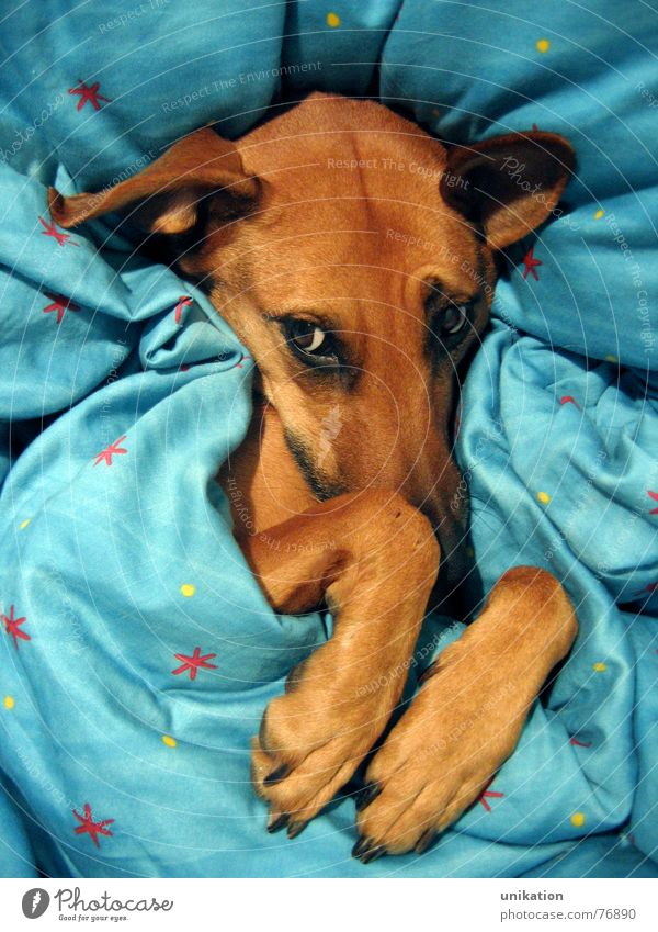 But Grandma... [2] Dog Bed Duvet Cushion Packaged Dream Doze Cold Winter Freeze Paw Snout Squint Little Red Riding Hood Fairy tale Big bad wolf Unhygienic