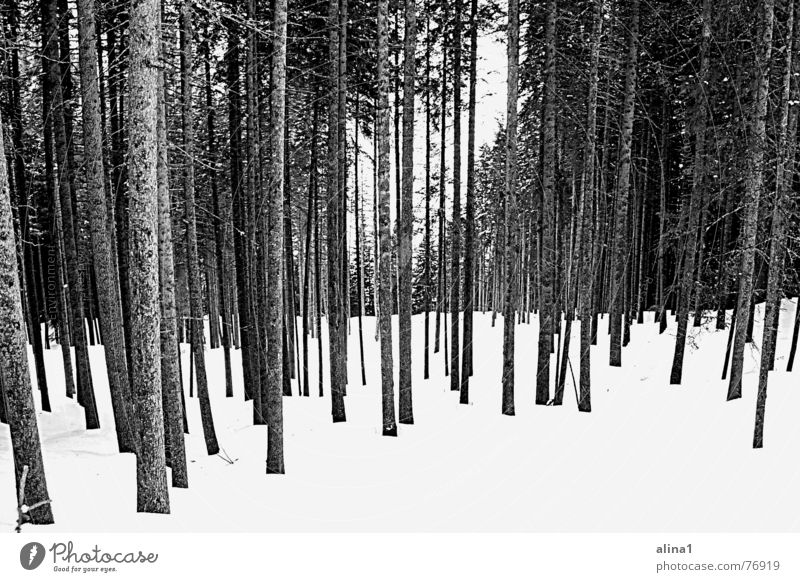 chill Forest Freeze Cold Tree Level Snow Black & white photo Arrangement Landscape