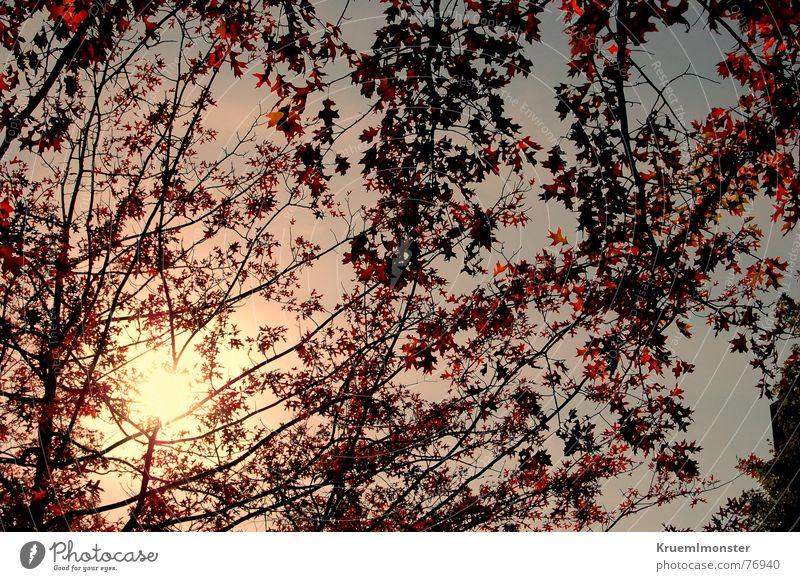 Sky Tree Sun Blue Red Summer Leaf Yellow Autumn Orange Twig