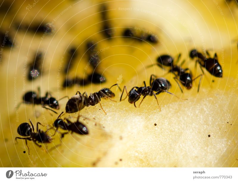 Ants Eating Group Food Work and employment Wild Action Fruit Fresh Nutrition Logistics Living thing Insect Teamwork Flock Social Feed