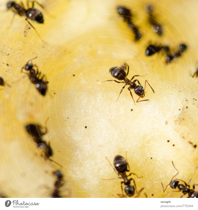 Ants Insect Apple Pear Candy Food Feeding Eating Nutrition Group Colony wildlife Nest Work and employment Teamwork organization Living thing Social Action