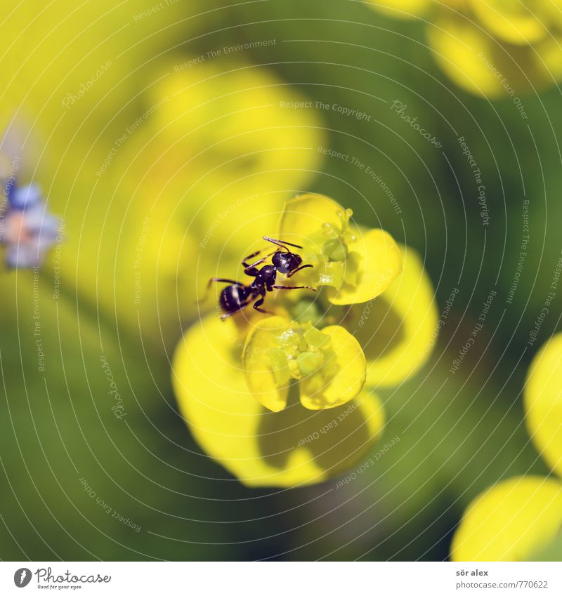 Small Environment Nature Plant Summer Climate Flower Blossom Meadow Animal Insect Ant 1 Yellow Green Crawl Macro (Extreme close-up) Summery Colour photo