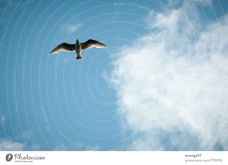 Sky Blue Summer Clouds Animal Bird Elegant Wild animal Beautiful weather Seagull Blue sky Flight of the birds Gull birds Skyward Clouds in the sky Glide
