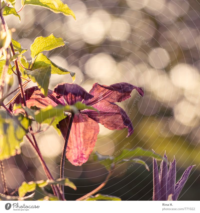 Nature Plant Happy Bright Garden Beautiful weather Blossoming Bud Spring fever Creeper Clematis