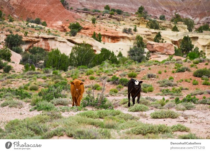 Nature Landscape Animal Black Baby animal Brown Rock Bushes Hill Agriculture Farm Desert Organic produce Cow Meat Organic farming