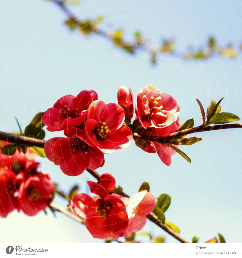 ornamental quince Nature Plant Spring Bushes Blossom Exotic Rose plants rosaceae spiraeoid sea pyreae pome fruit plants pyrinae Flowering Quince Blossoming