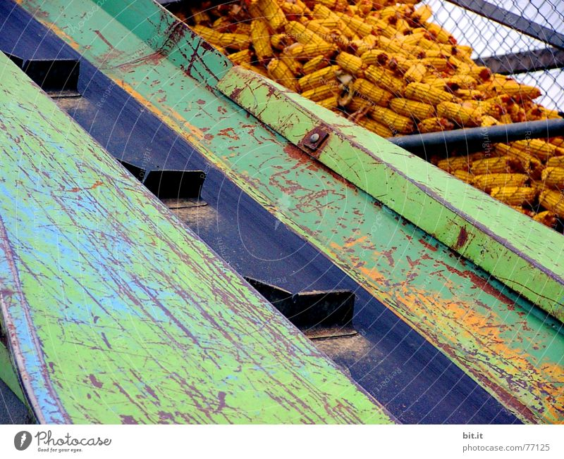 Process Conveyor belt Maximum Corn cob