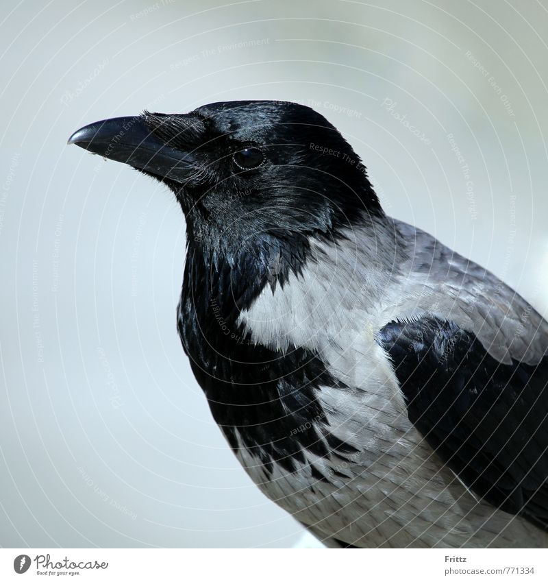 Hooded Crow Nature Animal Bird Animal face Carrion crow Raven birds Russian rook Corvus Cornix 1 Sit Gray Black greyish black bird black bill omnivorous
