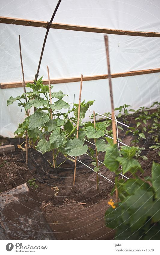 Plant Natural Healthy Garden Simple Manmade structures Foliage plant Agricultural crop Greenhouse Zucchini