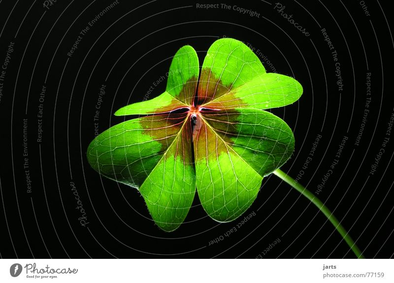 Green Life Meadow Religion and faith Happy Hope Desire Clover Congratulations Popular belief Flower Macro (Extreme close-up) Four-leafed clover