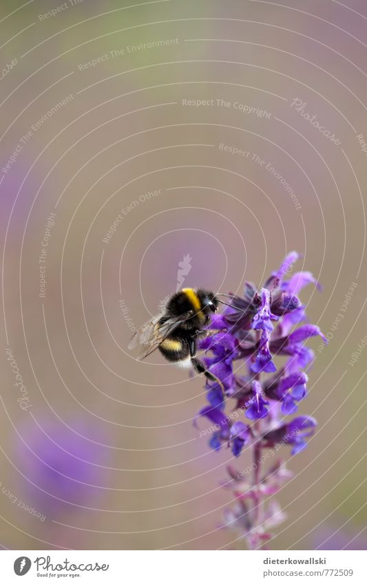 Nature Beautiful Plant Animal Yellow Environment Violet Bumble bee