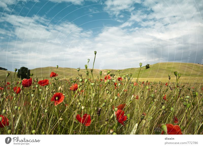 Papaveri toscani [2] Environment Nature Landscape Plant Sky Clouds Summer Flower Agricultural crop Wild plant Poppy Poppy blossom Poppy field Poppy capsule Rye
