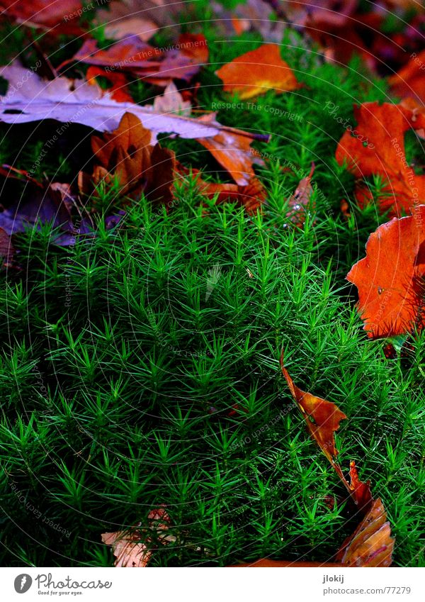 Green Red Colour Leaf Cold Autumn Hiking Star (Symbol) To go for a walk Seasons Moss Handicraft Dreary Spore Foam rubber