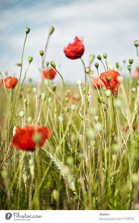 poppy tales Environment Nature Plant Sky Clouds Flower Blossom Agricultural crop Wild plant Poppy Rye Rye field Poppy capsule Field Blossoming Growth Natural