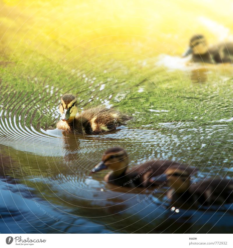 Animal softeners for the heart Swimming & Bathing Environment Nature Water Weather Pond Lake Wild animal Bird Group of animals Baby animal Small Curiosity Cute