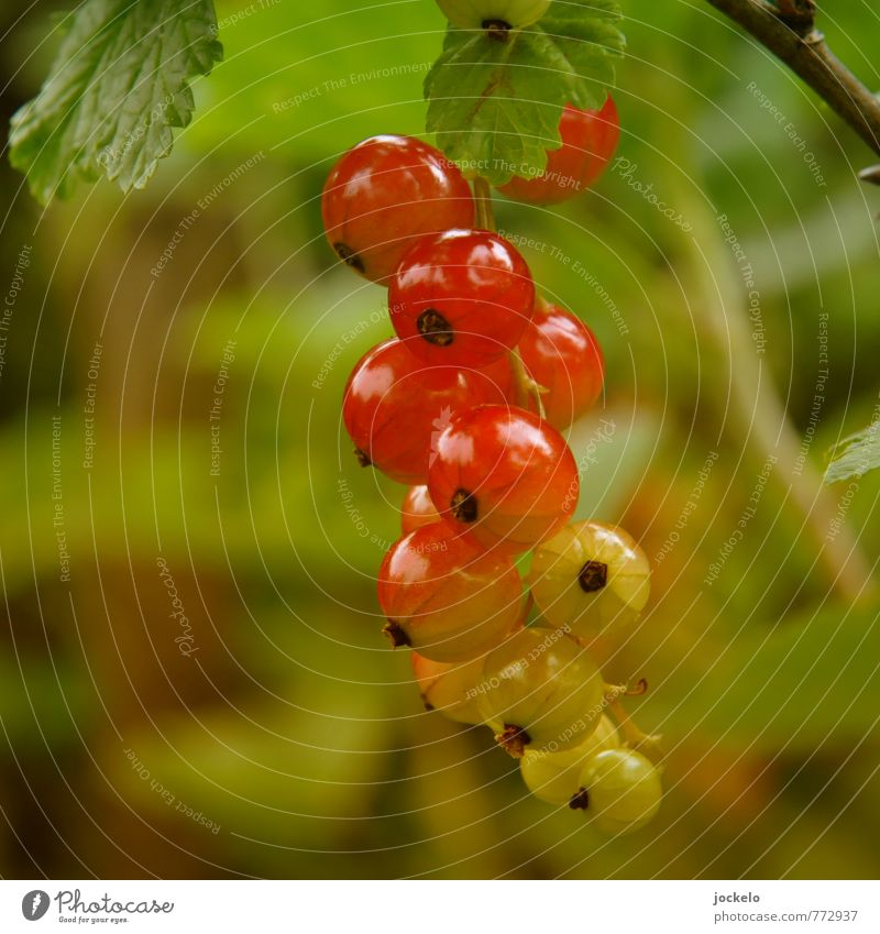gradient Nature Plant Bushes Agricultural crop Feeding Sweet Wild Yellow Green Red Appetite Redcurrant Träuble Jam Colour photo Exterior shot